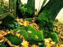 Валун базальта мшистый в лесе листьев покрытом с первыми красочными листьями от дерева клена, дерева золы и дерева осины Стоковые Фотографии RF