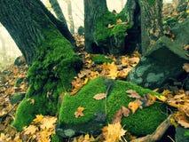 Валун базальта мшистый в лесе листьев покрытом с первыми красочными листьями от дерева клена, дерева золы и дерева осины Стоковое Фото