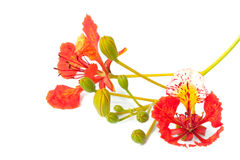 вал цветка пламени изолированный Стоковая Фотография RF
