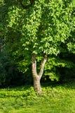 Вал шелковицы Стоковое Изображение RF
