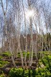 валы березы белые Стоковое Фото