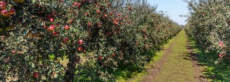 валы листьев одного яблока чуть-чуть полные стоковые изображения