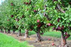 валы листьев одного яблока чуть-чуть полные стоковое изображение rf