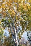 валы лужка листьев берез осени померанцовые Стоковое Изображение RF