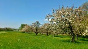 валы яблока зацветая Стоковая Фотография RF