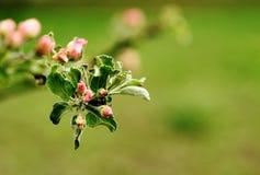 вал яблока зацветая желтый цвет весны лужка одуванчиков предпосылки полный Стоковые Изображения RF