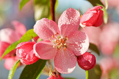 вал яблока зацветая Стоковые Фото