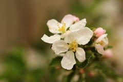 вал яблока зацветая Стоковые Изображения RF