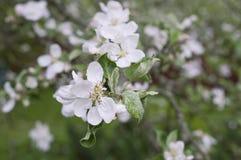 вал яблока blossoming Стоковые Фотографии RF