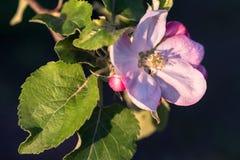 вал яблока blossoming Стоковая Фотография RF