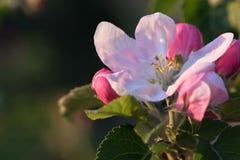 вал яблока blossoming Стоковое фото RF