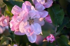 вал яблока blossoming Стоковое Изображение