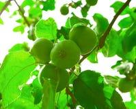 вал яблок зеленый Стоковое Фото