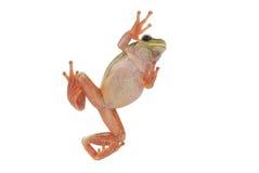 вал лягушки зеленый Стоковое Фото
