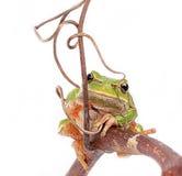вал лягушки зеленый Стоковое Изображение RF