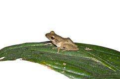 вал лягушки золотистый Стоковое фото RF