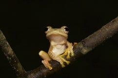 вал лягушки тропический Стоковые Фотографии RF