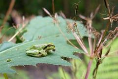 вал hyla лягушки пущи arborea общий европейский Стоковые Фото