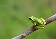 вал hyla лягушки пущи arborea общий европейский Стоковое Фото