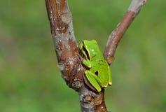 вал hyla лягушки пущи arborea общий европейский Стоковые Фотографии RF