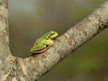 вал hyla лягушки пущи arborea общий европейский Стоковое Изображение RF