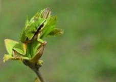 вал hyla лягушки пущи arborea общий европейский Стоковая Фотография RF