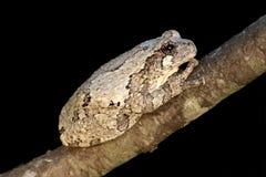 вал hyla лягушки серый versicolor Стоковые Фото