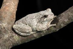 вал hyla лягушки серый versicolor Стоковая Фотография