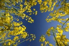 Вверх-взгляд в feield семени масличной культуры Стоковые Изображения