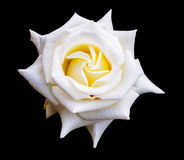 Вверх изолированное близкое белой розы Стоковые Изображения