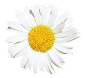 вверх изолированный конец цветка маргаритки Вол-глаза стоковые фото