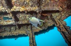 Вверх ногами - голубой Angelfish Стоковое Изображение RF
