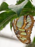 Вверх ногами зеленая и коричневая бабочка Стоковое Изображение
