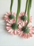 Вверх ногами розовые маргаритки Стоковое Фото