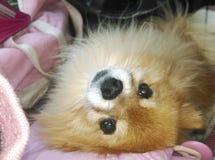 Вверх ногами Pomeranian Стоковое Изображение RF