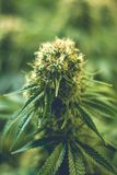 Вверх по близкому медицинскому цветку марихуаны с превращаясь янтарными pistils Стоковое Фото