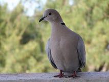 Вверх по близкому и личному голубю Collard Стоковое фото RF