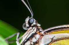 Вверх по близкому портрету бабочки Стоковая Фотография