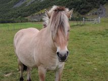 Вверх по концу с лошадью в Geiranger, Норвегия стоковые фотографии rf