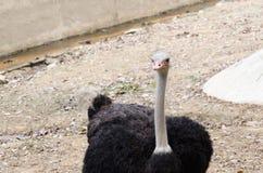 Вверх по страусу Стоковая Фотография RF