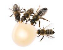 Вдовствующая королева пчелы и работники пчелы выпивают мед Стоковое Изображение