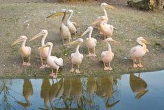 вдоль берега пеликанов Стоковые Фотографии RF
