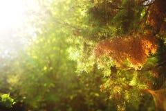вдоль предпосылки ветви carpeting создающ земной можжевельник впечатления перемещают Стоковое Изображение RF