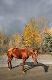 вдоль ряда лошадей Британского Колумбии Стоковые Фотографии RF