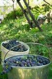 2 ведра вполне свеже сжатых виноградин в поле земледелия Стоковые Изображения RF