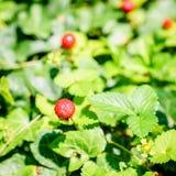 ведро bushes клубника одичалая Стоковые Изображения RF