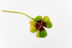 везение листьев клевера 4 хорошее одиночное Стоковые Изображения RF