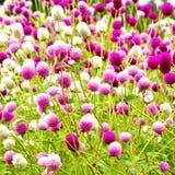 вековечные цветки pearly стоковые изображения rf