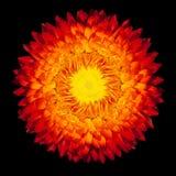 вековечный цветок изолировал strawflower Стоковая Фотография RF