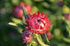 Вековечный цветок стоковые фото